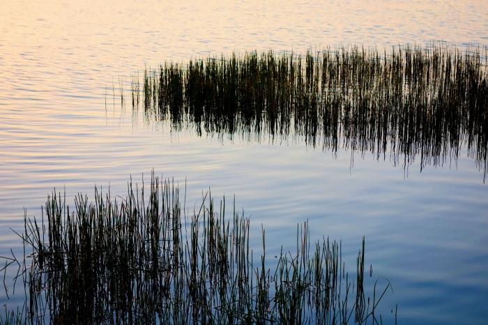 reeds twilight water